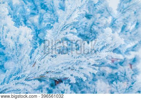 Winter Christmas Background With Spruce Branches In Hoarfrost