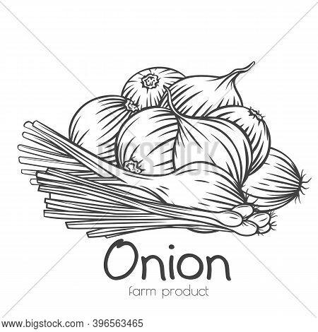 Onion Bulbs, Scallion, Leek Outline Hand-drawn Engraved Monochrome Vector Illustration In Retro Sket