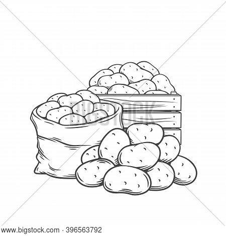 Potato Tubers Outline Hand Drawn Monochrome Vector Illustration In Retro Sketch Style For Store Ad.