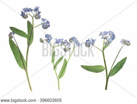 Pressed And Dried Delicate Blue Flowers Forget-me-not . Isolated On White Background. For Use In Scr