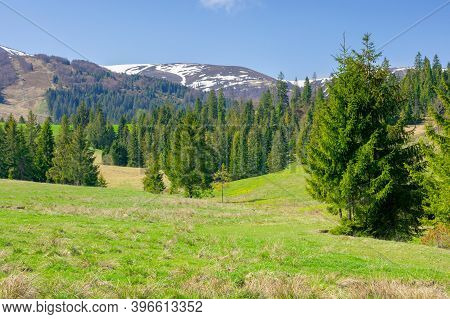 Carpathian Springtime Landscape On A Sunny Day. Beautiful Nature Scenery With Spruce Trees On The Gr
