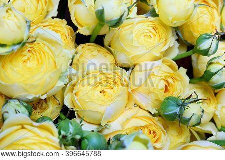 Beautiful Yellow Pion-shaped Rose. Bouquet Shrub Roses.