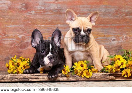 french bulldog breed dogs and flowers yellow daisies