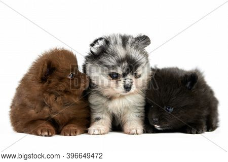 Three Pomeranian Spitz Puppies Isolated. Cute Pomeranian Dogs On White Background, Brown, Black And