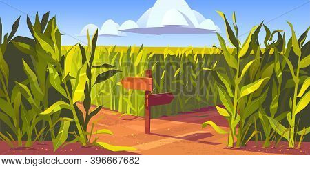 Green Maize Plants And Sandy Road Between Corn Fields, Wooden Post With Arrows And Traffic Signs. Fa