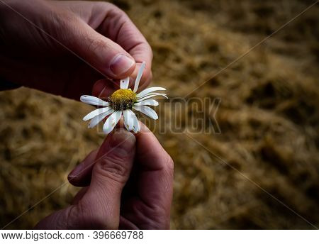 Female Finger Pull Petals Of A Daisy Flower, Symbol Of A Love Me, Love Me Not Gesture.