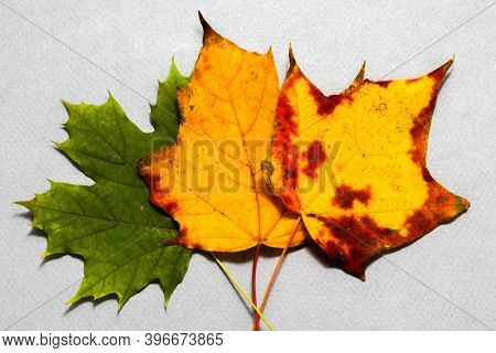 Three autumn colored leaves on  paper background close up