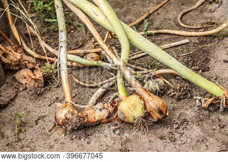 Just Picked But Not Good Onions Laying On The Garden Bed. Bulbs Of Ripe Onions After Digging Up.