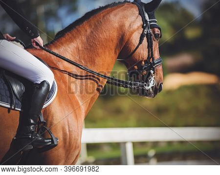 A Beautiful Athletic Bay Horse With A Rider In The Saddle Who Holds It By The Reins, Performs At Equ