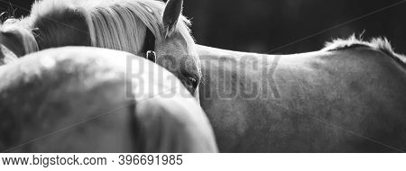 Black And White Portrait Of A Calm Beautiful Pony With White Eyelashes And A Halter On Its Face, Sta
