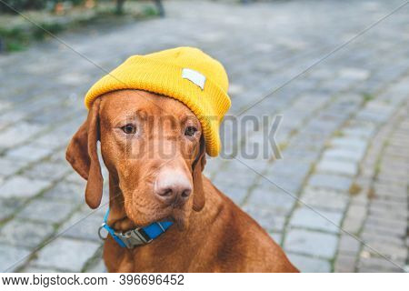Portrait Of Hungarian Vizsla Dog In A Yellow Hipster Hat