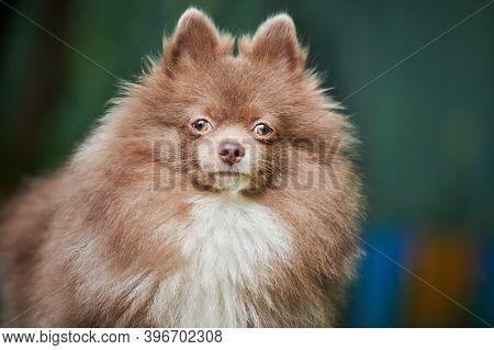 Pomeranian Spitz Dog In Garden, Close Up Face Portrait. Cute Pomeranian Puppy On Walk. Family Friend