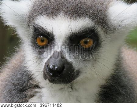A Ring-tailed Lemur Staring At Camera. High Quality Photo