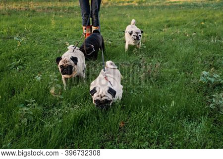 Dog Walking. Professional Dog Walker Walking Dogs In Autumn Sunset Park. Walking The Pack Array Of P