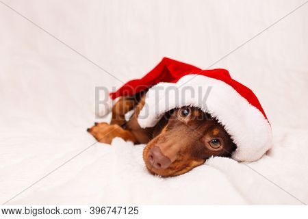 A Dachshund Puppy In A Christmas Hat Is Lying On White Sofa Christmas Greeting Card Winter Concept.