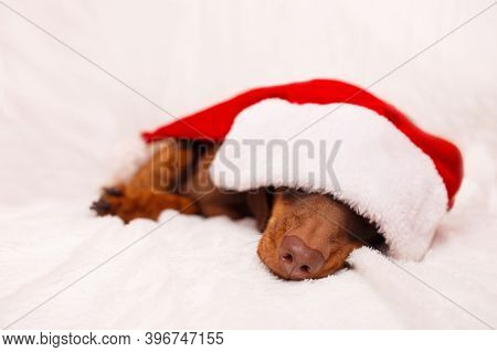 A Dachshund Puppy In A Christmas Hat Is Sleep On White Sofa Christmas Greeting Card Winter Concept.