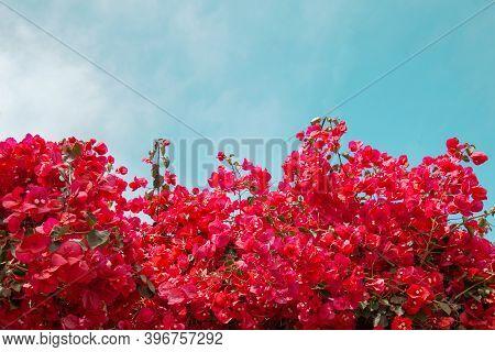 Blooming Bougainvillea. Magenta Bougainvillea Flowers Against Blue Sky. Bougainvillea Flowers As A B