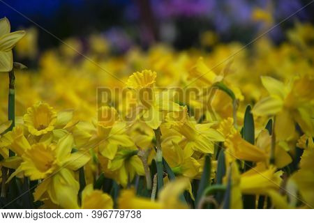 Amazing Yellow Daffodils Flower Field In The Morning Sunlight. The Perfect Image For Spring Backgrou