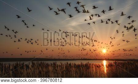Barnacle Goose (branta Leucopsis) Hibernate At North Sea,germany