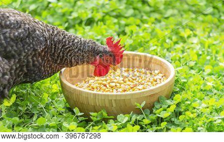A Hen Pecks Grain From A Bowl On The Green Grass