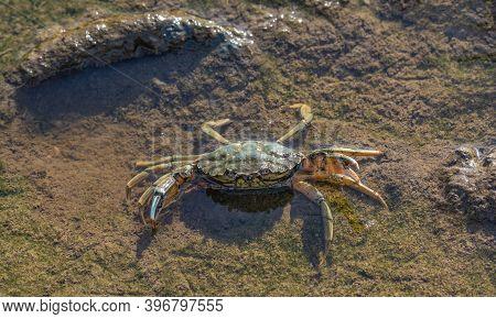 Shore Crab (carcinus Maenas),eiderstedt Peninsula,north Sea,north Frisia,germany