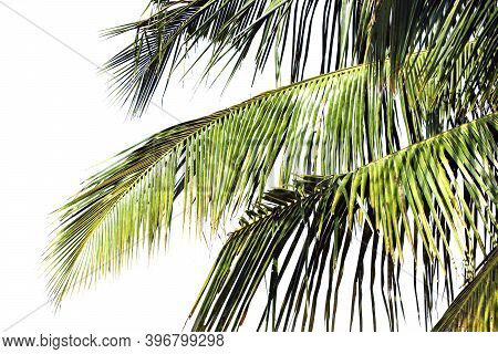 Leaves Of Coconut Tree Isolated On White Background, Detail Of Coconut Trees And Leaf With Soft Ligh