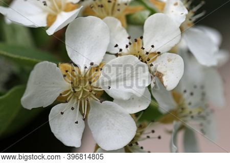 Close Up Macro Image Of Pear Tree, Pyrus Communis, Variety Beech Hill Flowers At The End Of A Tree B