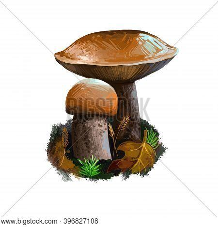 Leccinum Versipelle Mushroom Digital Art Illustration. Boletus Testaceoscaber Veggie, Watercolor Pri