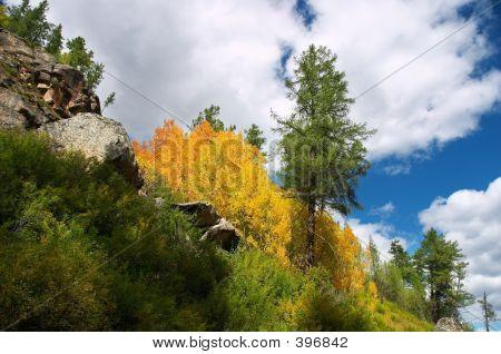 Yellow Aspen And Green Fir