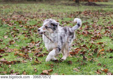 Young Shetland Sheepdog Puppy In Blue Merle Color Running Around In Garden. Photo Taken On A Warm Au