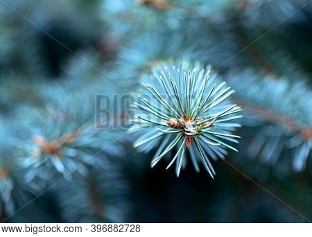 Blue Spruce Branch Close-up On A Blurry Background. Christmas And Winter Concept. Soft Focus, Macro.