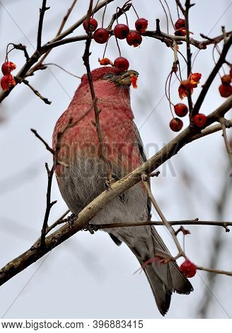 Big Rosefinch Male Or Carpodacus Rubicilla Winter Berries Feeding. Colorful Wild Songbird With Red B