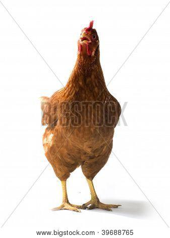 Red sex link chicken hen standing on white background poster