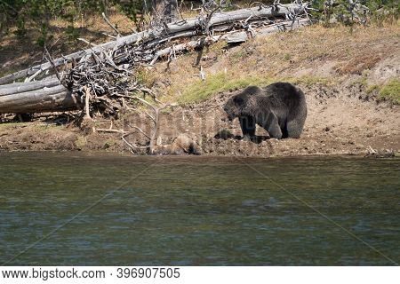 Grizzly Bear Guards His Buried Bull Elk Carcass He Caught Along The Yellowstone River, In Hayden Val