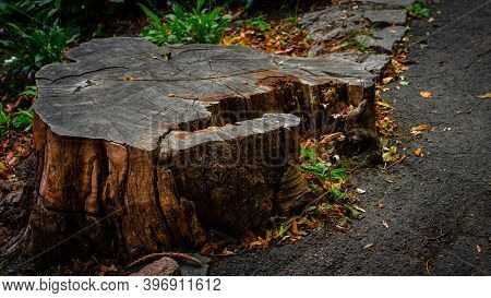 Stump, Cut Tree, Tree Stump In The Forest. The Tree Is Sawn