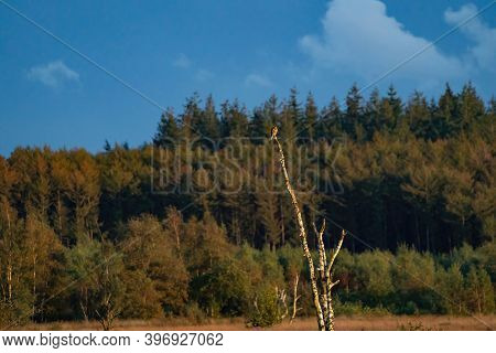 A Buzzard Watchful At The Top Of A Dead Tree. Forest In The Background