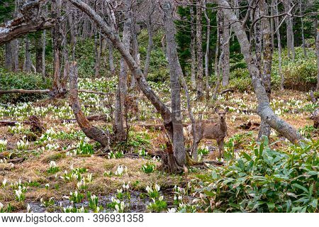 Wild Deer In The Forest, Posing At Spring Woods
