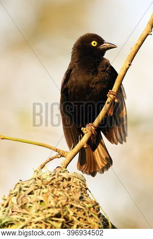 The Vieillot's Black Weaver (ploceus Nigerrimus) Sitting At The Nest. A Large Black Weaver With A Ye
