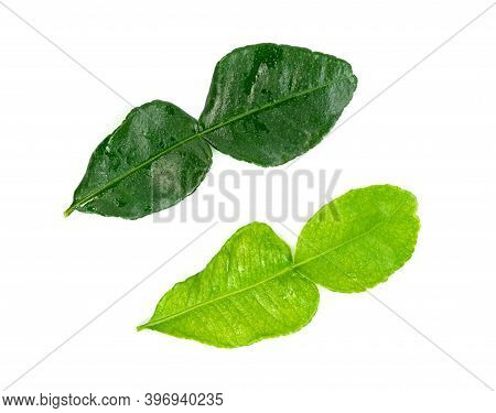 Leaf Kaffir Lime Isolated On White Background ,green Leaves Pattern