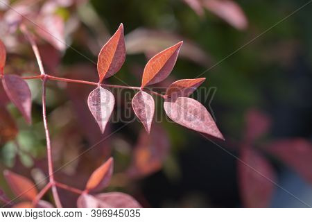 Heavenly Bamboo Obsessed Leaves - Latin Name - Nandina Domestica Obsessed