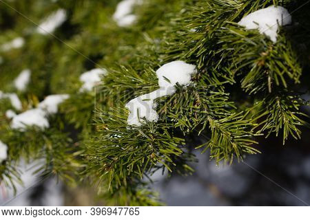 Christmas Winter Nature Background. Christmas Pine Under The Snow.copy Space. Christmas Tree Under T