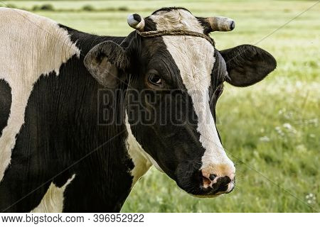Cow On The Pasture In Rural Area