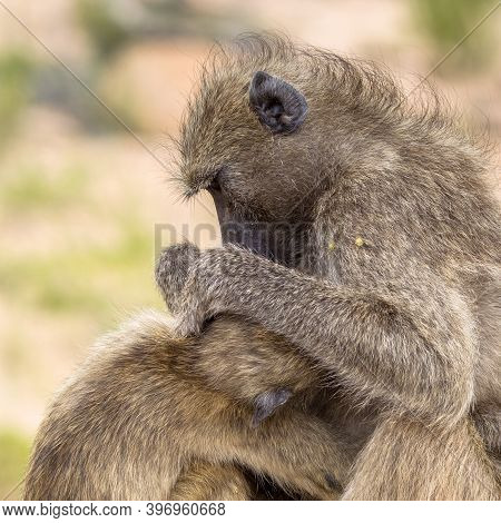 Chacma Baboon (papio Ursinus) Adult Mother Animal Grooming Young In Kruger National Park South Afric