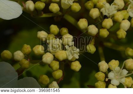 Viburnum Opulus, Guelder Rose. Beautiful White Flowers Of Blooming Viburnum Shrub On Dark Green Back