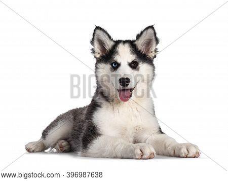 Adorable Yakutian Laika Dog Pup, Odd Eyed And Cute Black Masked. Laying Down Side Ways. Looking Towa