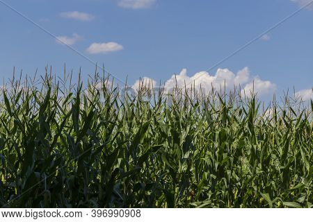 A Field On Which Tall Green Corn Grows. Above The Corn Is A Blue Sky With Clouds.