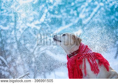 Dog Wrapped In A Red Shawl Walking Outdoors In Snowy Winter At Blizzard