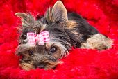 Lovely puppy of Yorkshire terrier with pink bow lying on red pillow poster