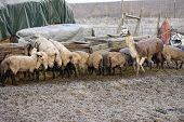 A flock of sheep and a llama are at the trough feeding. poster