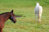 pair of horses grazing grass taken on the farm poster